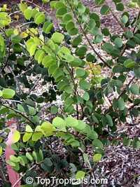 Bauhinia hookerii, Lysiphyllum hookerii, Mountain Ebony, Pegunny, White bauhiniaClick to see full-size image