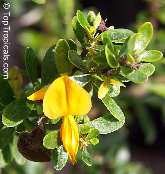 Jamaican Ebony Bonsai Tree 37