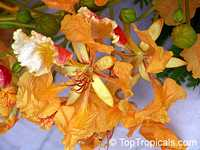 Delonix regia var. Golden, Flame tree, Flamboyant, Royal poinciana, Gul Mohr, Peacock Flower  Click to see full-size image