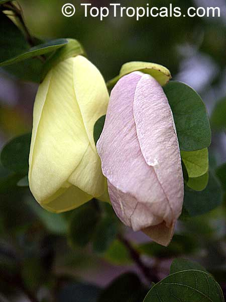 Bauhinia Tomentosa Yellow Orchid Tree Yellow Bell
