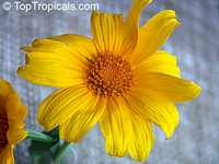 Tithonia diversifolia, Sunflower Tree, Tree Marigold, Wild Sunflower 