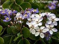 Guaiacum officinale, Lignum Vitae, Guajacum, GuaiacClick to see full-size image