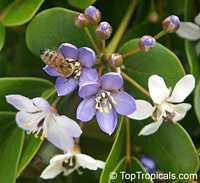 Guaiacum officinale, Lignum Vitae, Guajacum, Guaiac  Click to see full-size image