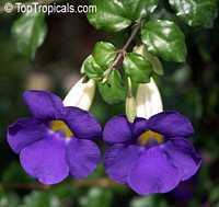 Thunbergia erecta - Kings Mantle  Click to see full-size image