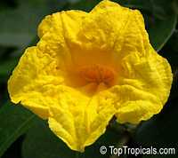 Adenocalymna comosum, Bignonia comosa, Yellow Trumpet Vine  Click to see full-size image