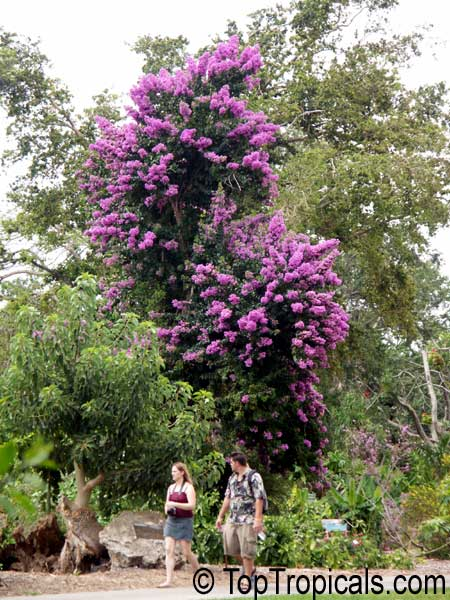 BurkeS Backyard Bonsai : Bougainvilli Bougainville S Frogfish Bougainville S Anglerfisch