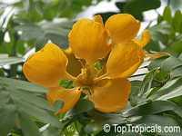 Bulnesia arborea, Vera, Verawood, Vera Wood, Maracaibo Lignum VitaeClick to see full-size image
