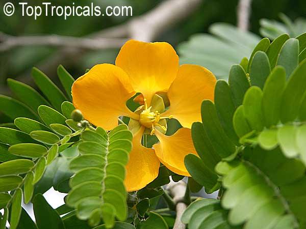 Bulnesia arborea, Vera, Verawood, Vera Wood, Maracaibo Lignum Vitae TopTropicals