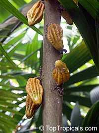 Herrania imbricata, Monkey CocoaClick to see full-size image