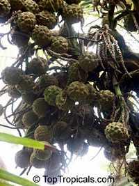 Pelagodoxa henryana, Henry Palm  Click to see full-size image