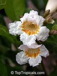 Radermachera Kunming, Dwarf Tree Jasmine, Peep Thong  Click to see full-size image