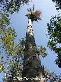 Corypha umbraculifera, Talipot Palm, Buri  Click to see full-size image