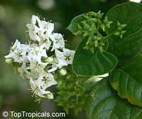 Ehretia sp., Puzzle bush