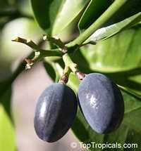 Kopsia arborea, Pin-mala  Click to see full-size image