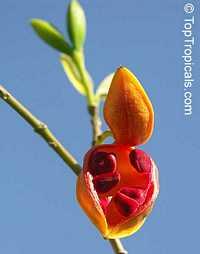 Tabernaemontana orientalis, Ervatamia orientalis, Ervatamia pubescens, Ervatamia floribunda, Banana Bush, Native Gardenia  Click to see full-size image