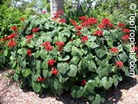 Clerodendrum speciosissimum, Clerodendrum fallax, Clerodendrum japonicum, Java Glorybower, Clerodendron  Click to see full-size image