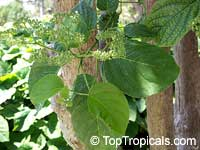 Premna odorata, Premna pubescens, Fragrant Premna, AlagawClick to see full-size image