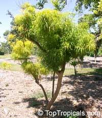 Melicope denhamii, Euodia ridleyi, EvodiaClick to see full-size image