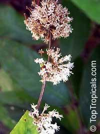 Phaleria perottetiana, Phaleria  Click to see full-size image