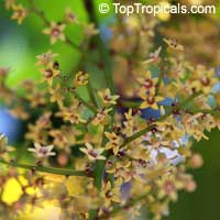 Pseudospondias microcarpa, African Grape  Click to see full-size image