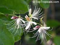 Capparis micracantha, Capertree, Chingchee  Click to see full-size image