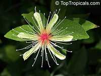 Capparis erythrocarpus, Pitipiti, Apana, Patahofuo  Click to see full-size image