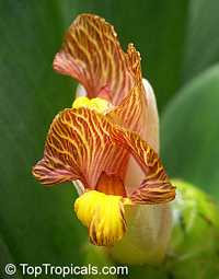 Costus malortieanus, Stepladder Ginger  Click to see full-size image
