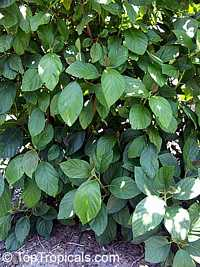 Myriocarpa longipes, Chichicaste  Click to see full-size image