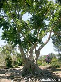 Ficus subcordata, Fairchilds Fig  Click to see full-size image