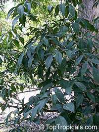 Picramnia pentandra, Florida Bitterbush, Bitter Bush  Click to see full-size image