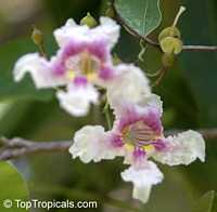 Catalpa longissima, Yoke-Wood, Haitian Catalpa, Jamaican Oak  Click to see full-size image