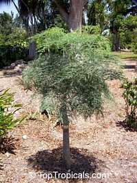 Moringa hildebrandtii, Moringa  Click to see full-size image