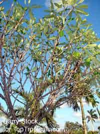 Plumeria tuberculata, Plumeria  Click to see full-size image