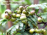 Caesalpinia coriaria, Diva-Diva, Divi-divi  Click to see full-size image