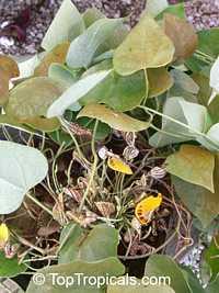 Aristolochia peruviana, Aristolochia  Click to see full-size image