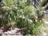 Coccothrinax argentata, Coccothrinax garberi, Coccothrinax jucunda, Florida Silver Thatch Palm  Click to see full-size image