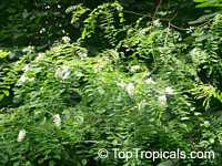 Robinia sp., Locust  Click to see full-size image