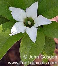 Gardenia hydrophila, Kailarsenia hygrophila, Mok Luang, Candlestick plant  Click to see full-size image