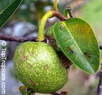 Annona glabra, Pond Apple, Alligator Apple, Monkey Apple