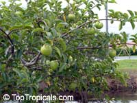 Annona glabra, Pond Apple, Alligator Apple, Monkey Apple  Click to see full-size image