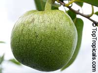 Annona glabra - seeds