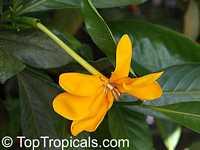 Gardenia gjellerupii, Thai GardeniaClick to see full-size image