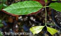 Gnetum gnemon, MelindjoClick to see full-size image