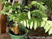 Phyllanthus mirabilis, Phyllanthodendron mirabilis, Dragon Wings, Buddhas Prayer, Namaste Plant  Click to see full-size image