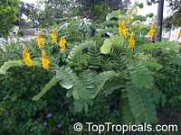 Senna alata, Cassia alata, Empress candle plant, Candle Bush, Carrion Crow Bush, Candlesticks  Click to see full-size image