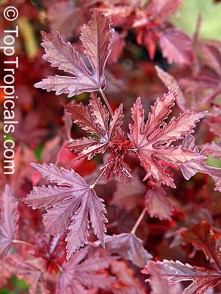 Acetocella red leaves and h furcellatus green leaves link