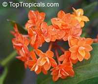 Ixora congesta, Ixora griffithiana, Ixora Thai Flame  Click to see full-size image