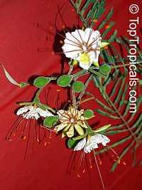 Delonix elata, Poinciana elata, Delonix decaryi, Mseele, White Poinciana, White Gul Mohur, VaadhanaaraayananClick to see full-size image