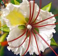 Delonix elata - White PoincianaClick to see full-size image