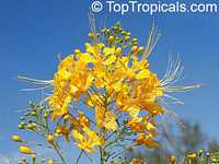Caesalpinia lutea, Yellow Peacock flower, Barbados pride, dwarf poinciana, Barbados flower-fence  Click to see full-size image
